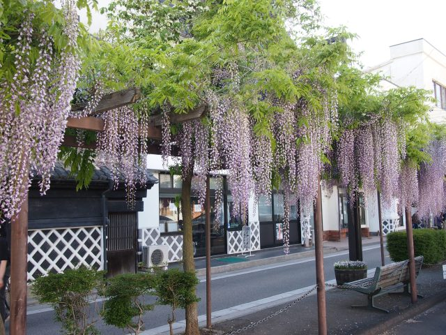 curtains of wispy wisteria